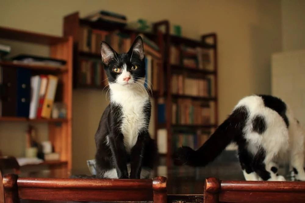 Dwa czarno-białe koty siedzą na stole na tle książek, jeden z nich jest tyłem, drugi przodem do obiektywu.