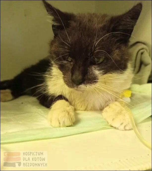 Bezdomna czarno-biała kotka pusia z lecznicy weterynaryjnej.