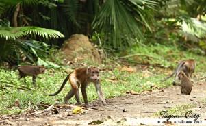 Wild monkeys inside the Hijo Plantation Estate tour by Jojie Alcantara 3