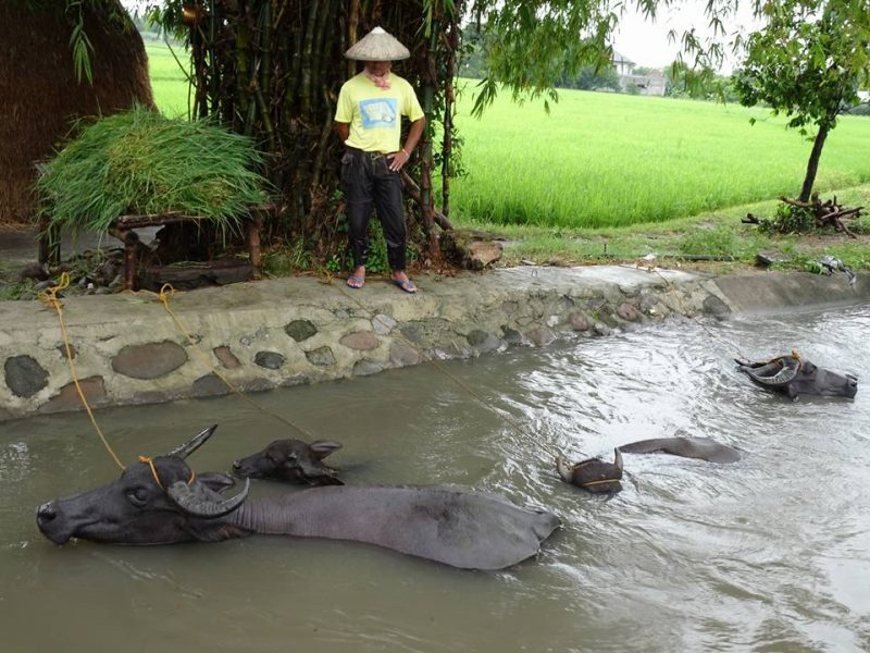 Bathing is important for carabaos before they are used in the fields. Photo and caption by Lito Ocampo, used with permission