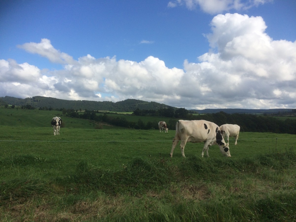 Kühe beim Birkenhof