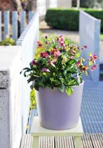 Die weinroten Blüten der Lenzrose verzaubern den herbstlichen Außenbereich