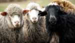 Citizen Animal - Schafe
