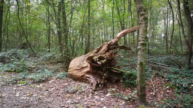 Baumstumpf im Bieselwald