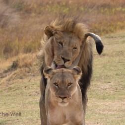 Löwen im Entabeni Safari Conservancy / Lions at Entabeni Safari Conservancy