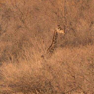 Giraffe / Marakele Nt. Park