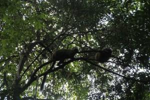 20 lemur