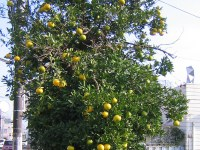 柑橘系の実