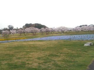 桜・菜の花・ネモフィラ