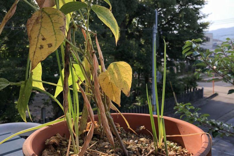 鉢植え銀不老豆収穫