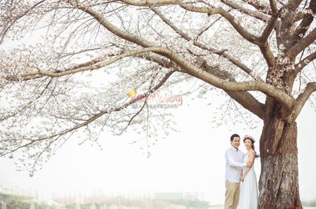 Cherry Blossom in Korea