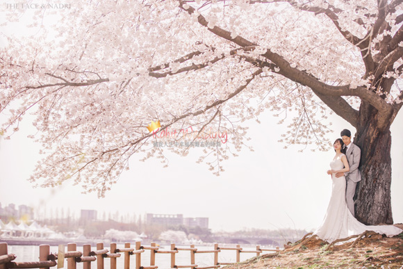 kohit-wedding-korea-pre-wedding-cherry-blossom-11