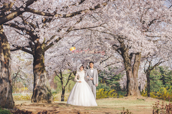 kohit-wedding-korea-pre-wedding-cherry-blossom-15