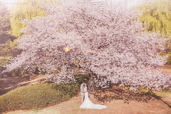 kohit-wedding-korea-pre-wedding-cherry-blossom-25