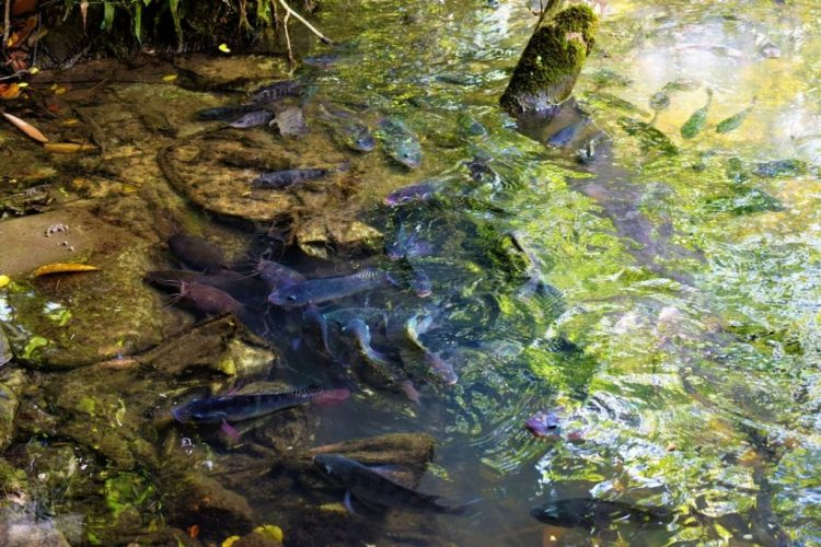 Catfish Farm Krabi