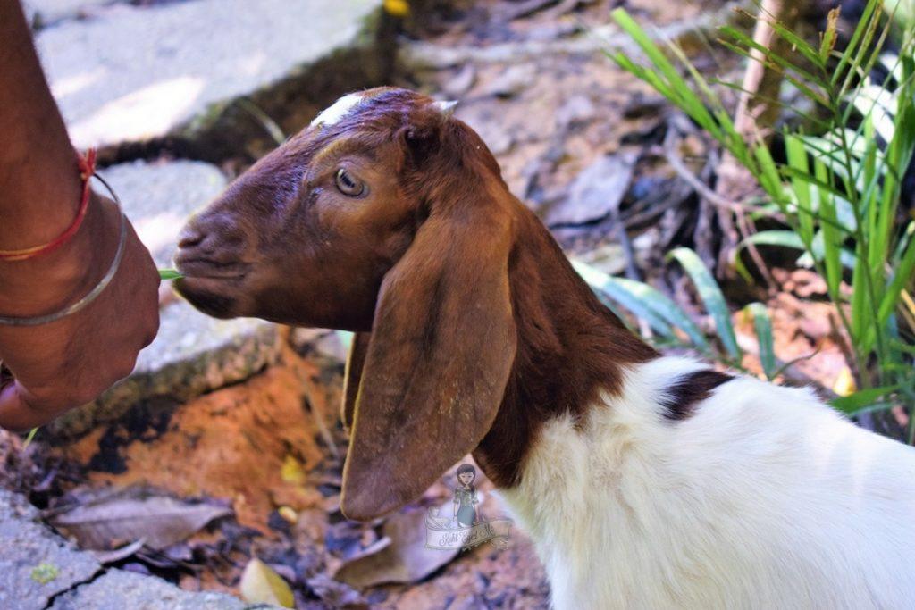 Lamb in Catfish Farm Krabi