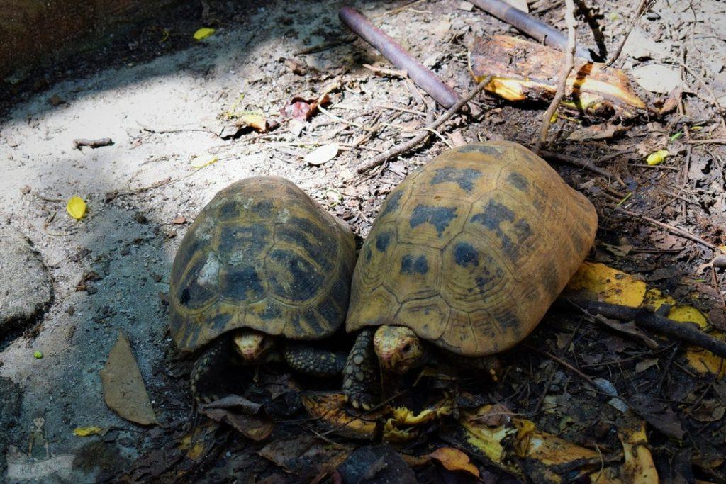 Tortoises in Giant Catfish Farm Krabi