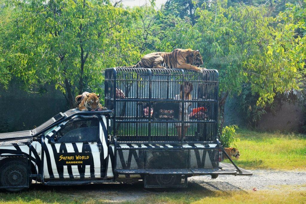 Tiger Feeding Safari World Bangkok