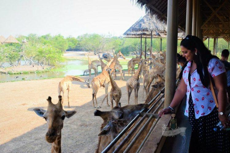Girafee Feeding Safari World