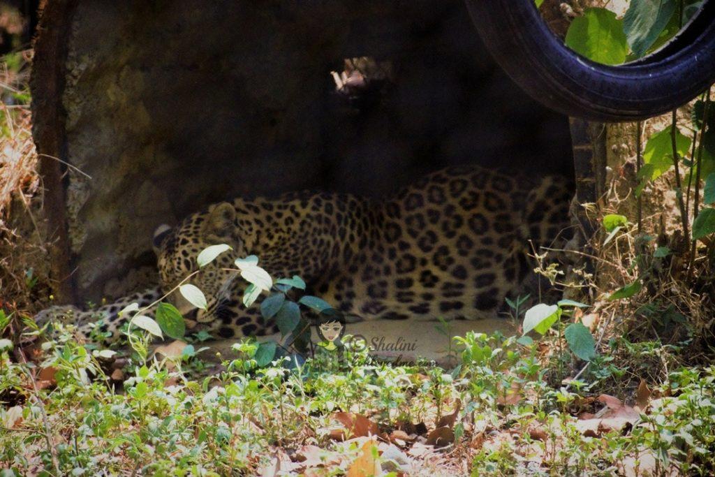 Malsi Deer Park - Dehradun Zoo Leopard animals in malsi deer park - kohleyedme.com