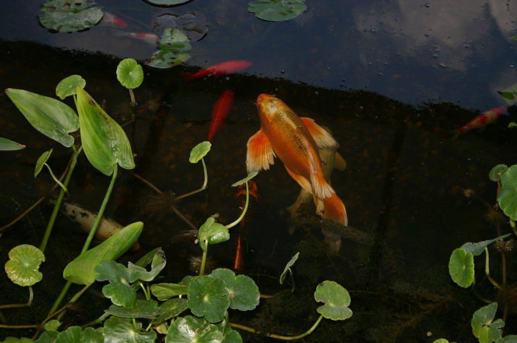 Aquatic Plants for Your Koi Pond: Why They're Important