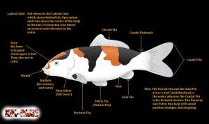 Koi Fish Skeleton Anatomy Diagram, Koi Fish External Anatomy Diagram