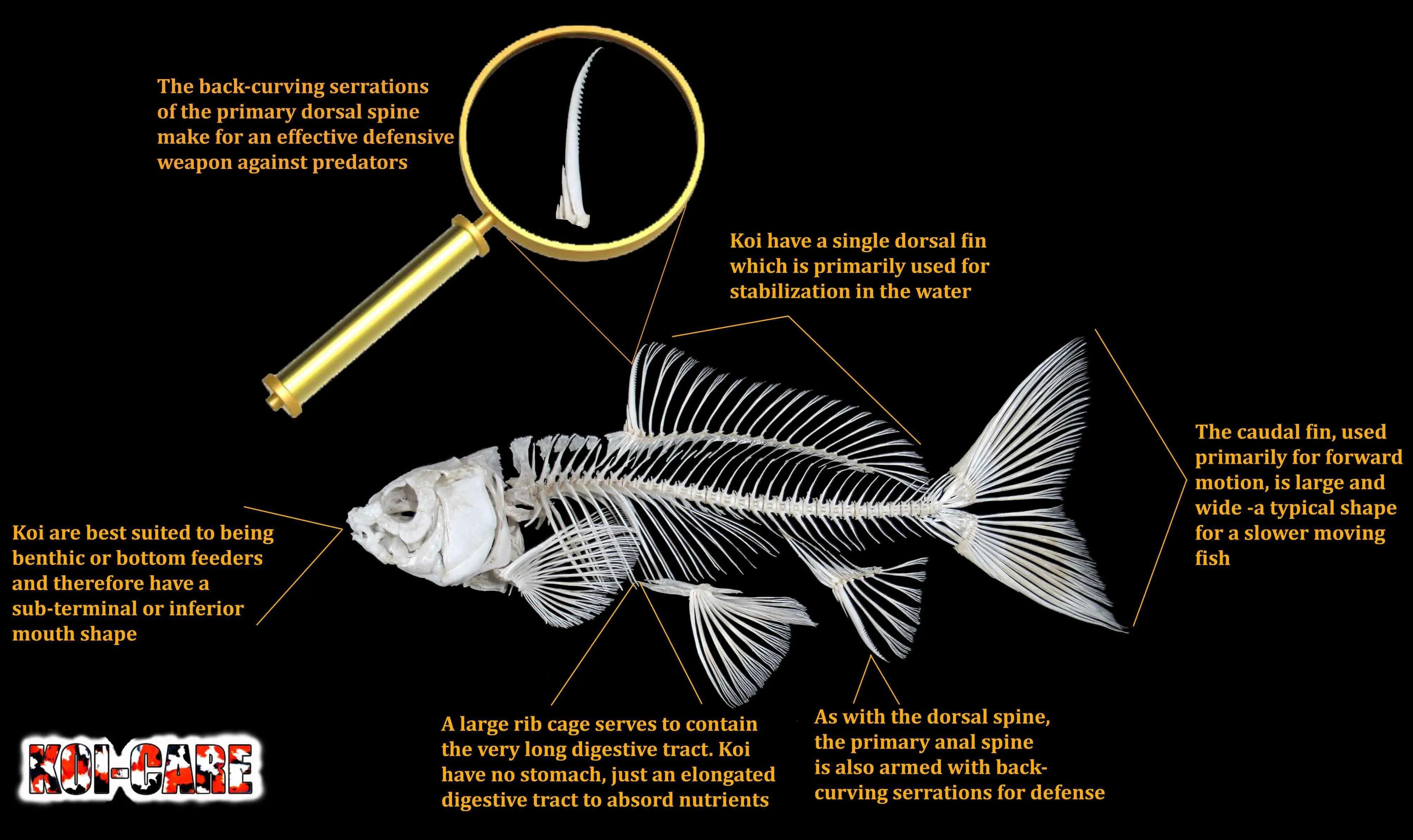 Koi Fish Skeleton Anatomy Diagram Koi Fish External