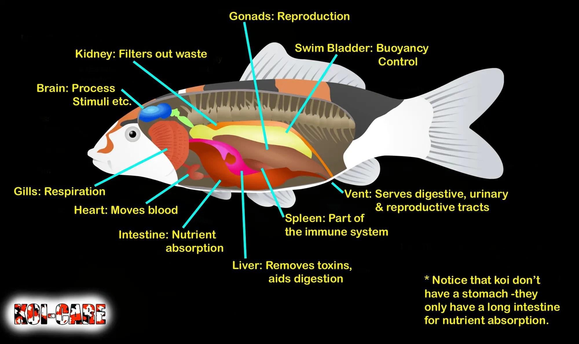 Koi Fish Skeleton Anatomy Diagram Koi Fish External Anatomy Diagram