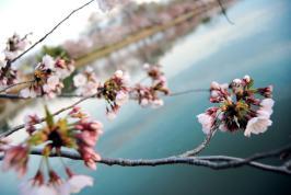 Cherry Blossom Festival, D.C. (Ko Im)