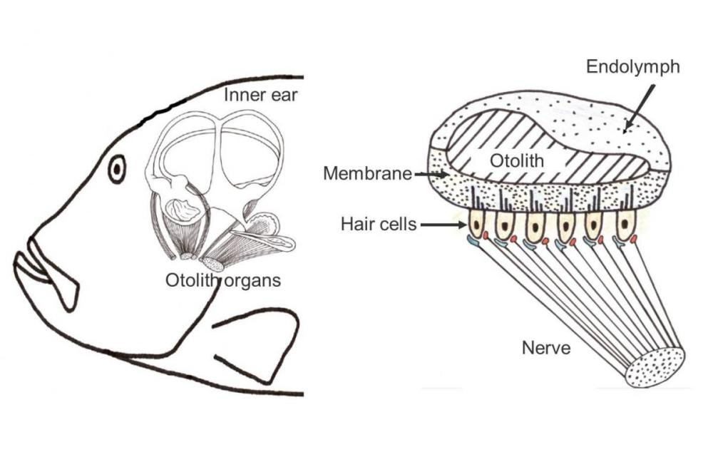 medium resolution of fish ear diagram