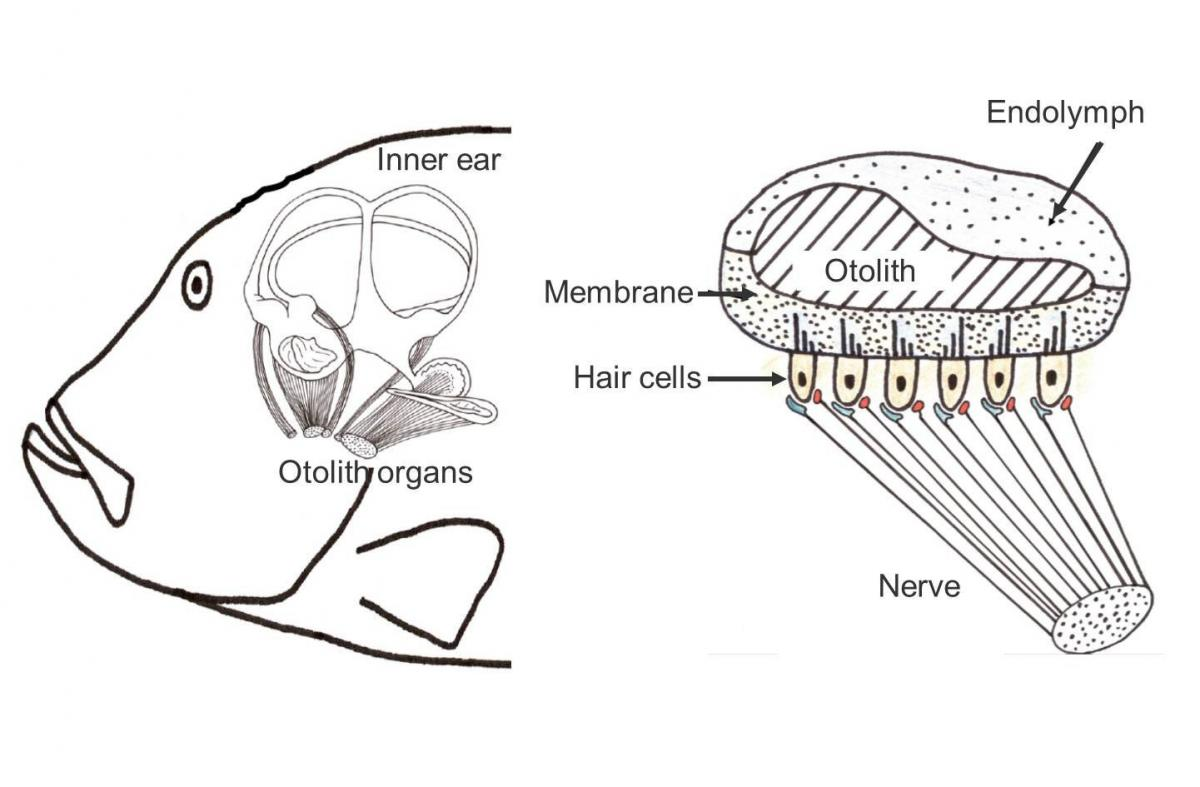hight resolution of fish ear diagram