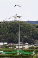 巣立ち前、ひなに足輪 豊岡の放鳥コウノトリ/豊岡市百合地