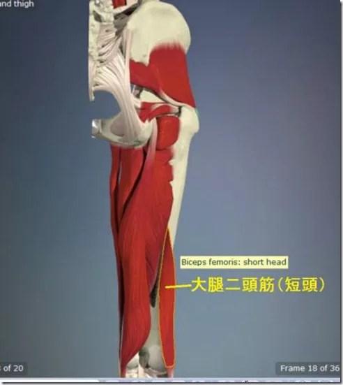 股関節痛み原因治療 大腿二頭筋(短頭)4.5