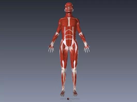 大腿四頭筋の解剖イラスト画像1