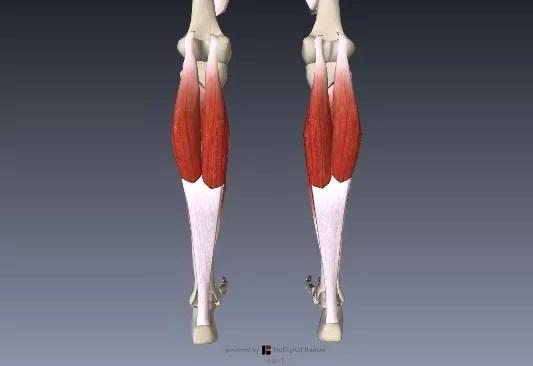 腓腹筋下腿三頭筋1