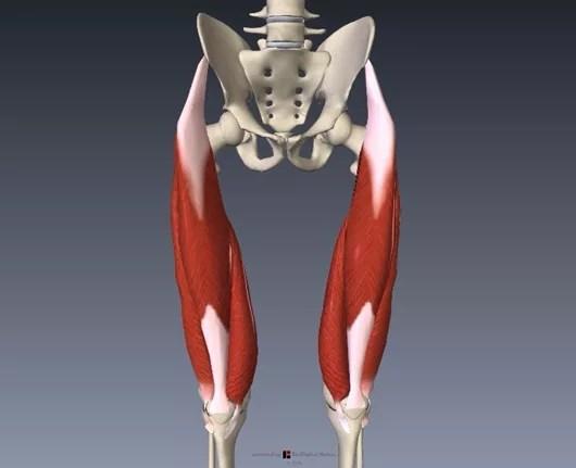 大腿四頭筋解剖
