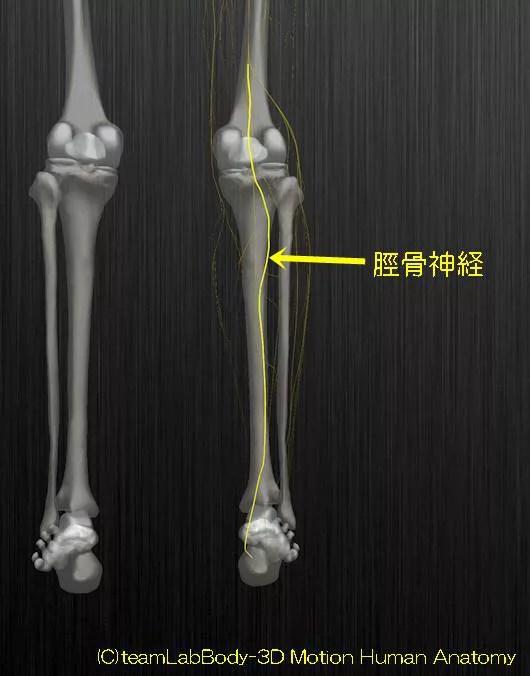 脛骨神経解剖図イラスト1
