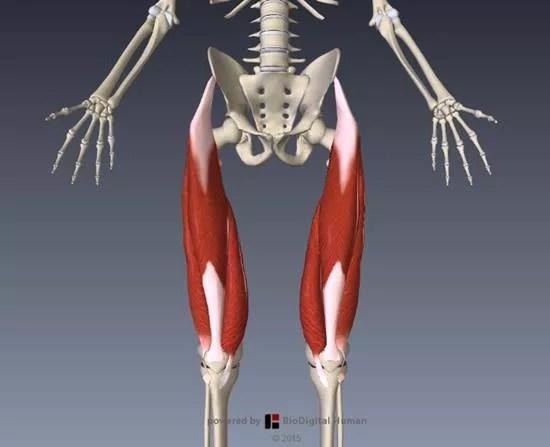 大腿四頭筋解剖イラスト図9