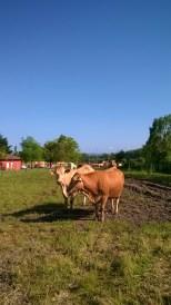 epsanjalaisia lehmiä..