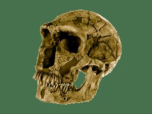homo neanderthalensis. Casquería
