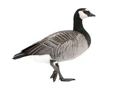 """Ganso """"barnacle goose"""""""