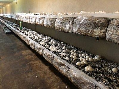 Cultivo del champiñón. Chef koketo