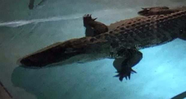 Only in Florida: Police Show 11-foot Alligator That Broke Into A Family's Swimming Pool In Nokomis 2