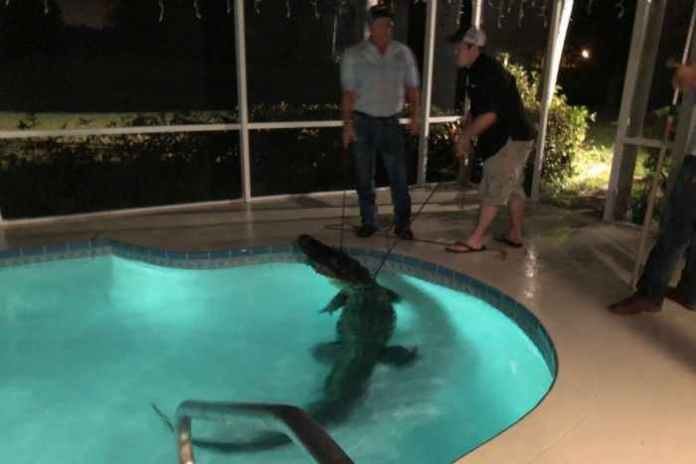 Only in Florida: Police Show 11-foot Alligator That Broke Into A Family's Swimming Pool In Nokomis 1