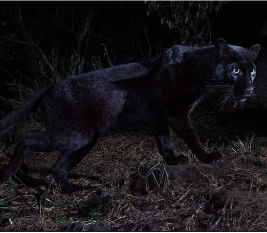 Wakanda Exists? Black Panther Spotted In Kenya For The First Time In 100 Years 1