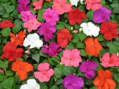 Impatiens20walleriana