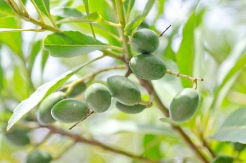 アンズ核油はオリーブオイルに匹敵する栄養素のかたまり
