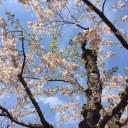 函館・五稜郭公園の桜の画像