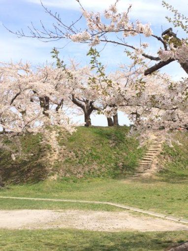 函館・五稜郭公園の桜