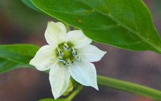 パプリカの花の画像